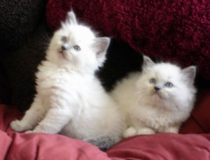 Pedigree Ragdoll Kittens for sale......