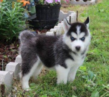Cute Siberian Husky Pups for adoption