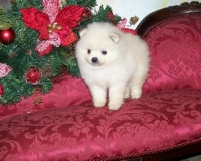 cute and adorable pomeranian male seeking a new home...