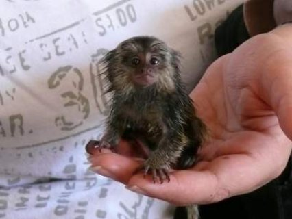 Pygmy Marmosets monkeys for Sale,..Male and female