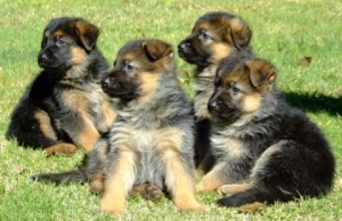 CKC German Shepherd puppies