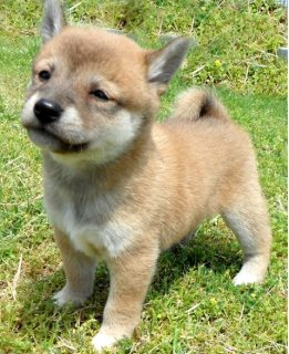 Male and female Shiba Inu puppies for adoption