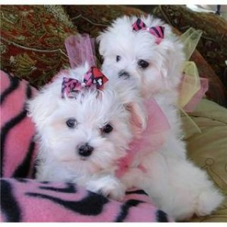 صور Maltese puppies Family raised and registered available 1