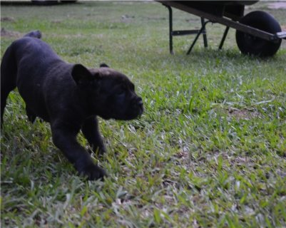 Cane Corso Puppies available for adoption .