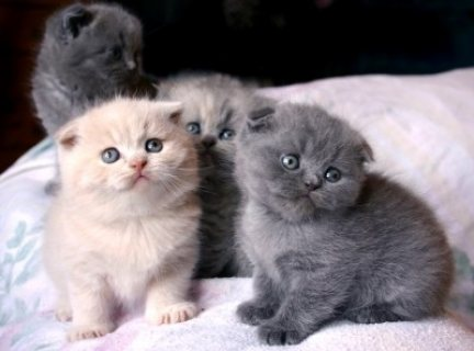 Scottish Fold Kittens for sale....