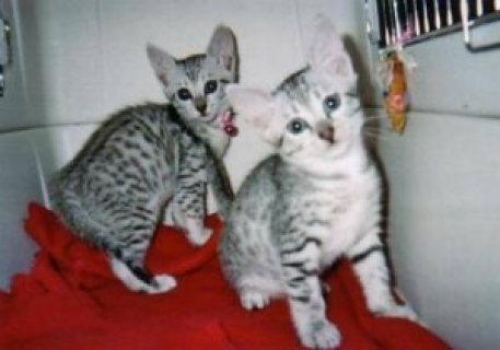 Lovely Egyptian Mau Kittens for Adoption.Male and female ready.