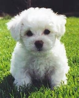 Awesome male and female Bichon Frise puppies for sale.Please ..