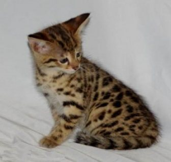 Great Personality Xas Male And Female Savanah Kitten For Sale.