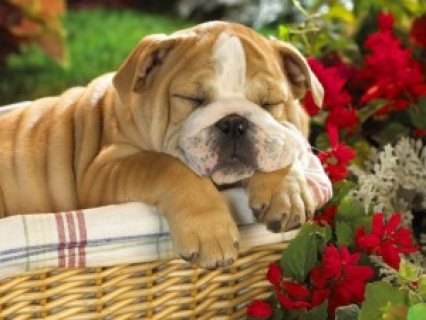 cute and adorable English Bulldog puppy for adoption.