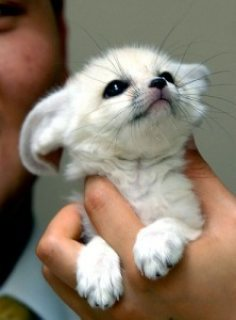 LOVELY AND FREINDLY FENNEC FOX FOR ADOPTION..............