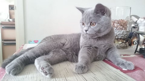 Pedigree Bsh Kitten For Sale