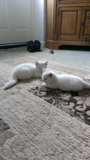 Beautiful British Kittens Available