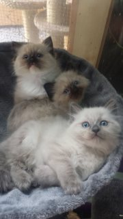 Adorable Gccf Reg Ragdoll Kittens For Sale!!