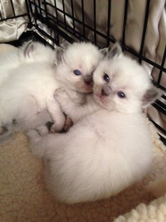 Gccf Reg Stunning Babies