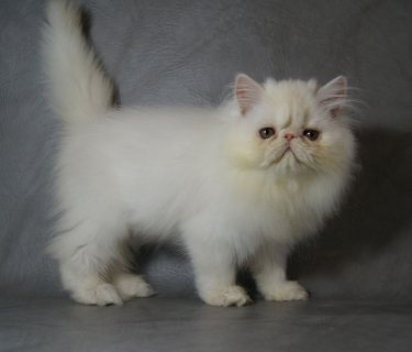 Adorable Full Pedigree Male Persian Kitten