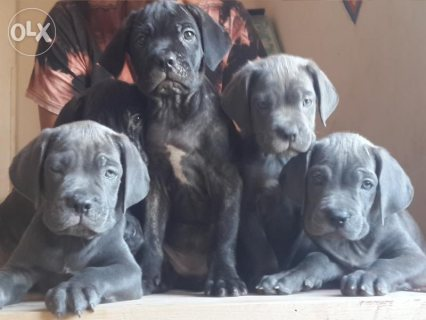 """Amazing"" Cane corso puppies for sale"