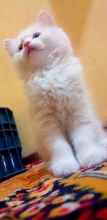 للبيع قطط شيرازى بيور مون فيس بمواصفات عالية50 يوم و يوجد توصيل