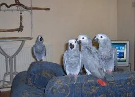 African Grey Parrots for sale...
