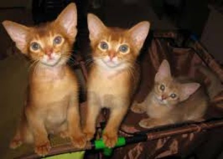 male and female Abyssinian kittens for sale.