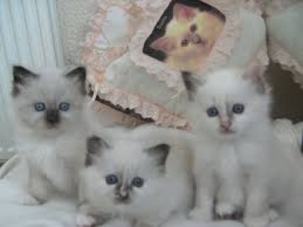 Nice Looking Birman Kittens Ready For Good Homes