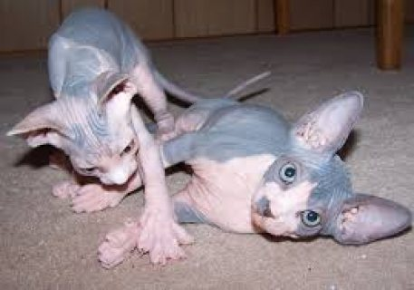 Beautiful Home Raised Sphynx Kittens For Sale