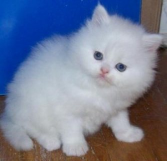 Tiny Teacup Persian kittens for re-homing.