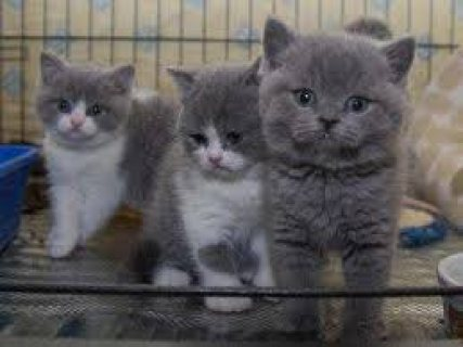 Healthy male and female British shor hair kittens for sale