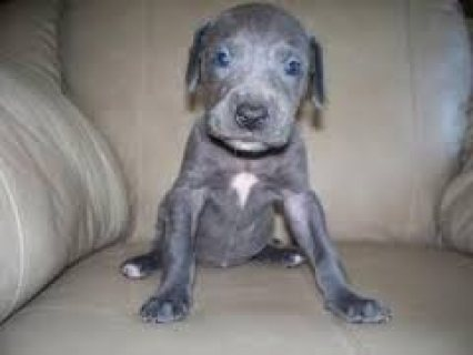 Absolutely Gorgeous Great dane Puppies For Sale