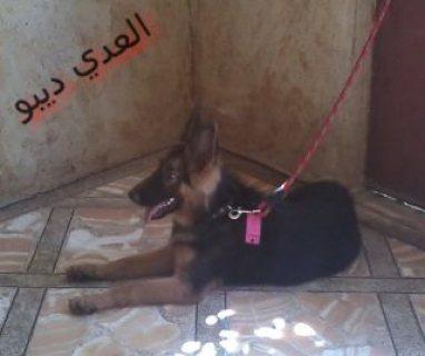 من اجمل النتي الجيرمن شيبرد في مصر
