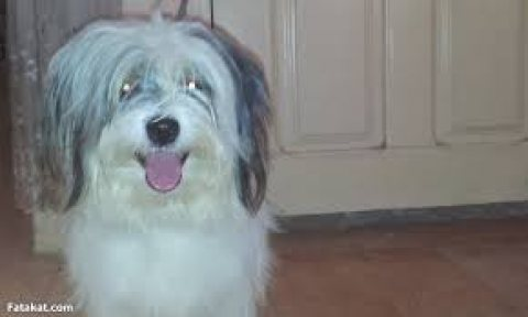 كلبه جريفون 8 شهور