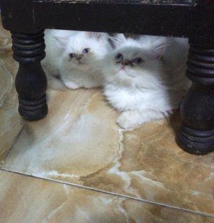 قطتين شيرازى هيمالايا اورانج بيكى فيس _ عمر 3 شهور