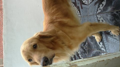 كلب بولدنج بسعر مغري