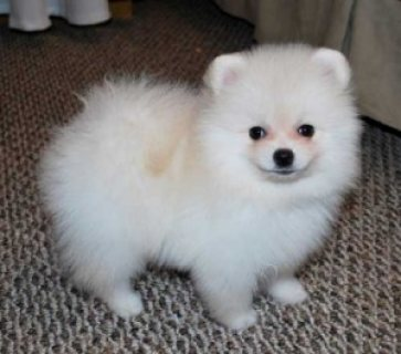 X-MASS Adorable Pomeranian Puppies available for a Lovely Home.