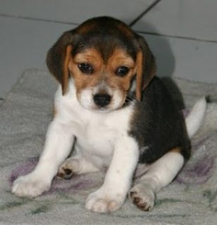 BEAGLE PUPPIES AVAILABLE FOR SALE .PLEASE CONTACT US BACK FOR MO