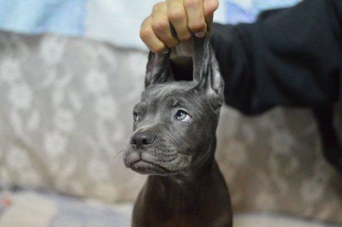 Importer Puppys #Cane_Corso