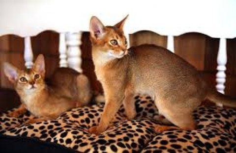 Abyssinian kittens for sale.