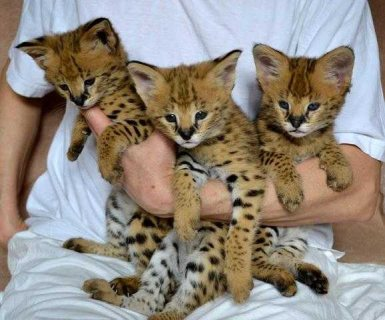 TICA Registered Savannah Kittens Available for sale