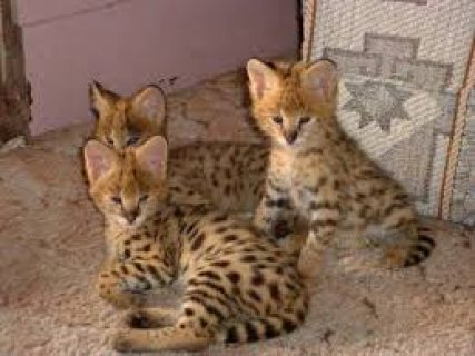 lovely male and female serval kittens available for sale