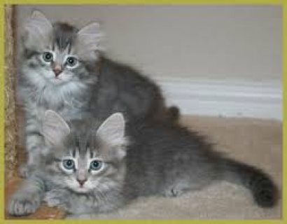 Adorable male and female Siberian kittens for sale.