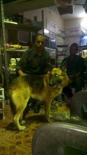 من اجمل الكلاب الجيرمن شيبرد في مصر