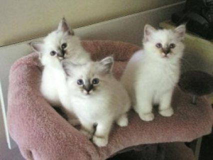 2 Seal Point Birman kitsten