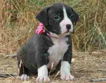 Nice lovely American pitbull puppies for adoption