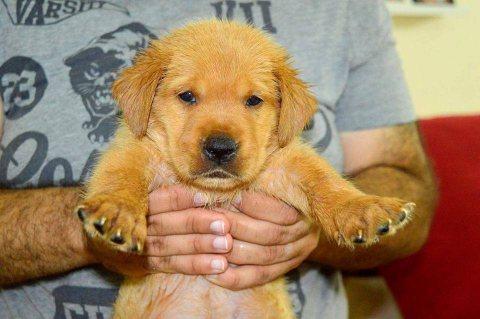 Golden Retriever Males & Females Puppies 4 Sale