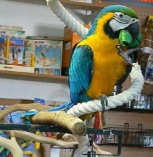 Hurry now and get a cheap macaw parrots for a good and affordabl