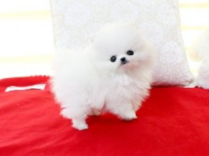 Precious Micro White TeaCup Pomeranian Puppies For Sale
