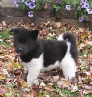 صور Outstanding Akita puppies for sale 1