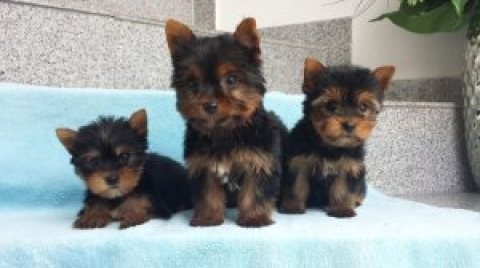gorgeous Yorkie male and female available for sale.