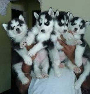 Beautiful Husky Puppies For Sale