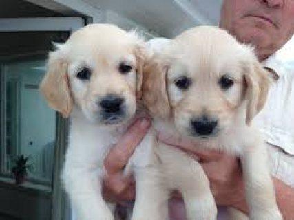 Well Trained Golden Retriever Pups