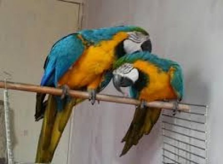 Tamest Babies macaw